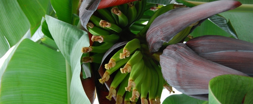 Secretaria de Agricultura realiza, no Vale do Paraíba, treinamento sobre controle biológico de brocas da bananeira
