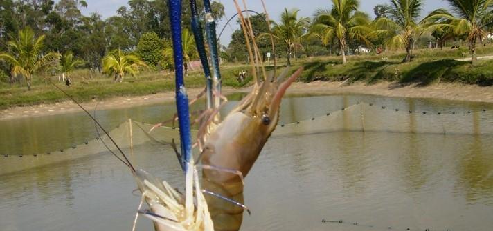 Secretaria de Agricultura oferece curso à distância sobre criação de camarões pitu