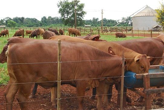 IZ disponibiliza 139 bovinos para venda - APTA - Agência Paulista de ... 2fd46615637